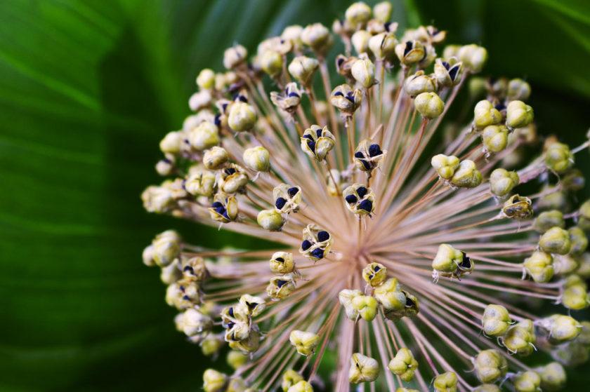 Allium seedhead macro