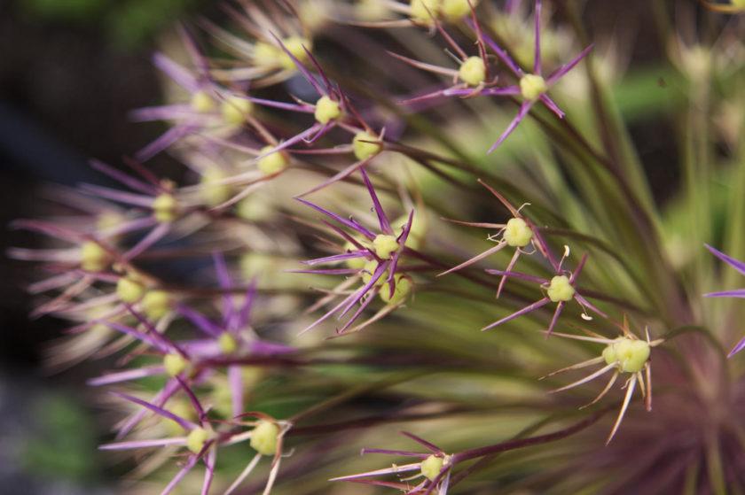 Allium head macro