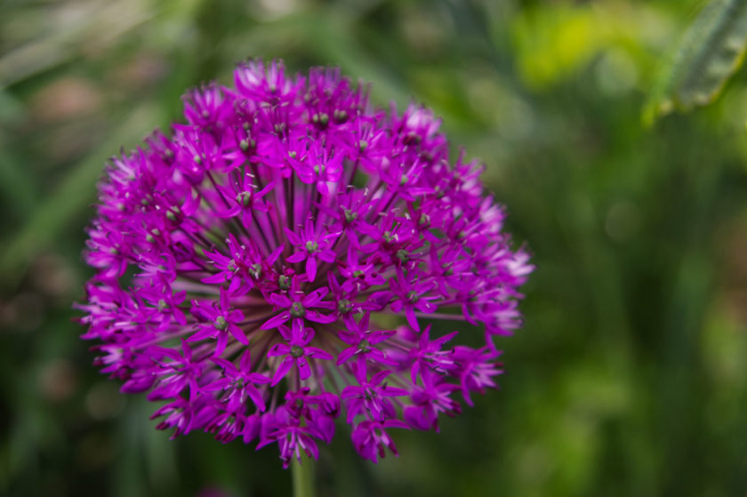 Allium Purple Top_3226