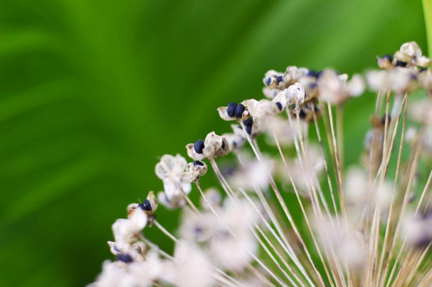 Allium_9587 macro on seed pod