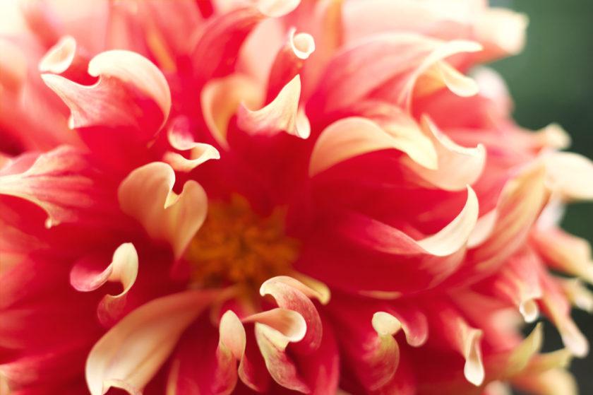 Dahlia Hot Pink Petals Macro_8983