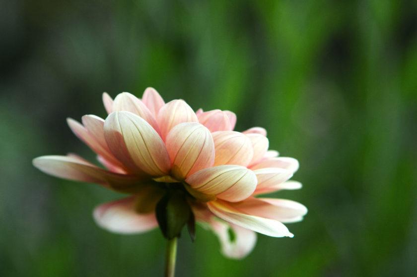 Dahlia Soft Pink Underside_9712
