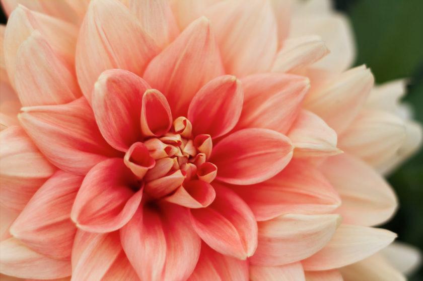 Dahlia Soft Pink_9200