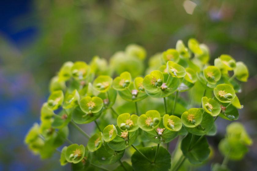 Euphorbia Blossoms Macro_8001