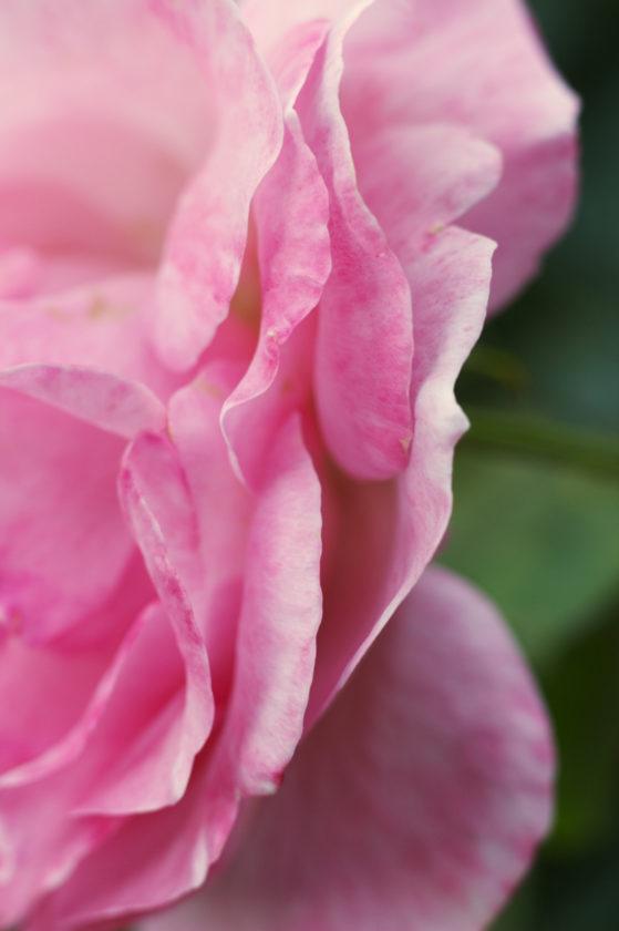 Light Pink Rose_9575