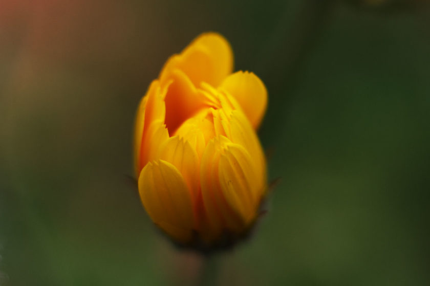 Orange-Yelllow-Blossom_0379