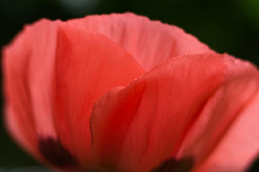 Red Poppy_3543