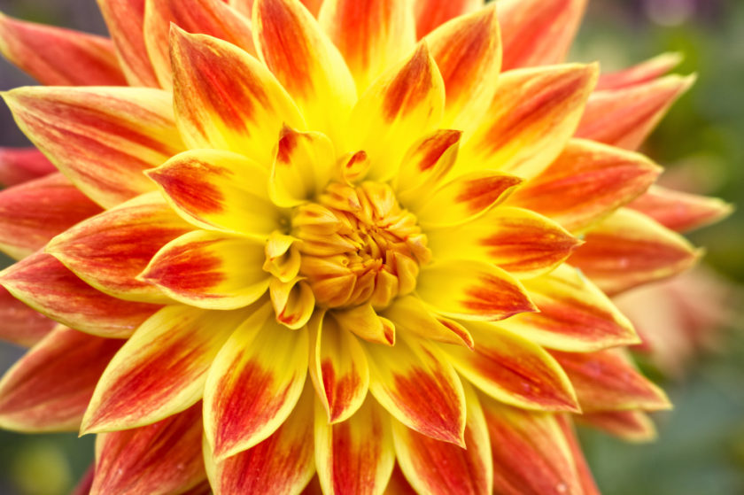 Red Yellow Dahlia_2476