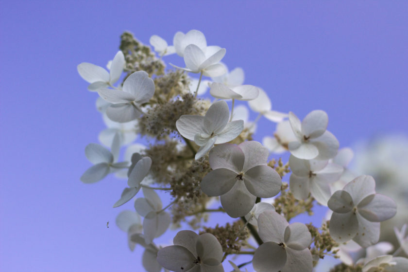 WhiteHydrangea-BlueSky_0086