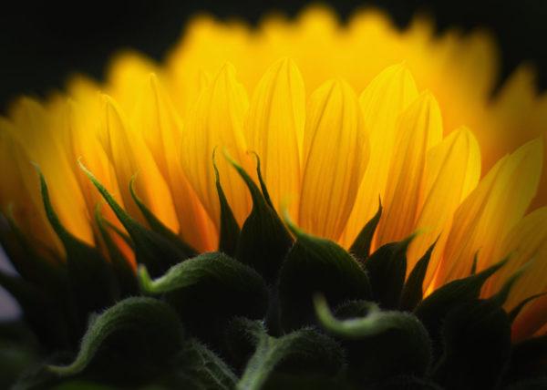 Sunflower Yellow side profile macro