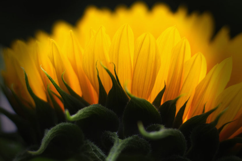 Yellow Sunflower_8421